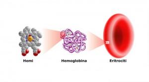 hemoglobina dhe eritrocitet